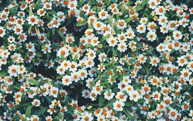 Las flores florecen, muchas margaritas blancas en la vista superior del prado