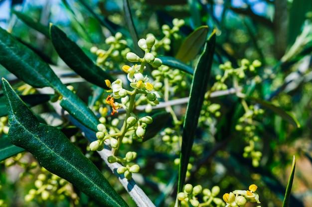 Flores florecientes de un olivo mediterráneo cargado de polen.