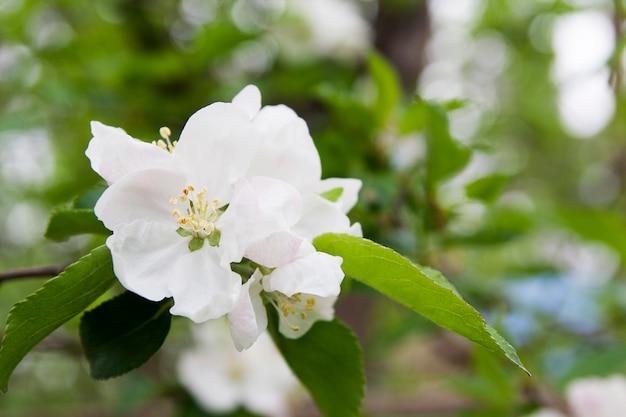 Flores florecientes del primer del manzano en un fondo del follaje verde con el bokeh. floración de primavera