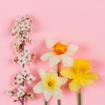 Flores florecientes de la rama y del narciso en el fondo rosado, endecha plana de la visión superior