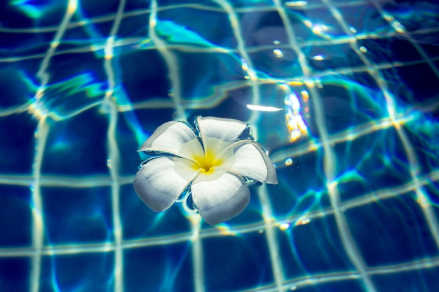 Flores flotantes de frangipani en la piscina
