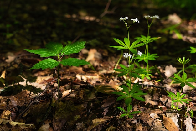 Flores fragantes del bosque de galium odoratum