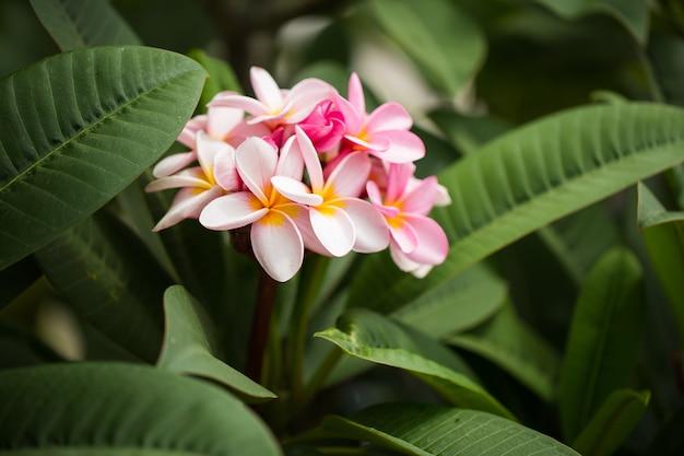 Flores de frangipani cierre hermoso plumeria. increíble de flores de frangipani tailandés en hoja verde