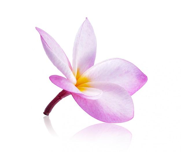 Flores frangipani sobre fondo blanco.