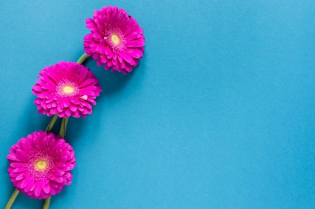 Flores de gerbera con copia espacio sobre fondo azul.