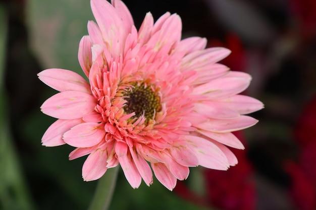 Flores de gerbera en jardin