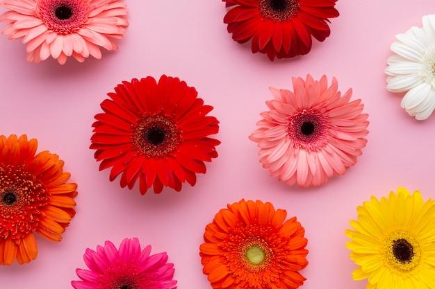 Flores de gerbera sobre fondo rosa