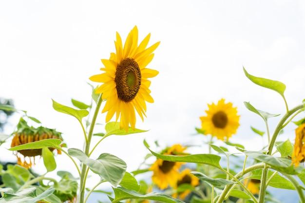Flores grandes hermosas del sol en el cierre del jardín para arriba.