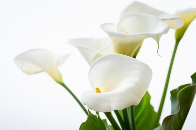 Flores hermosas de los lirios de cala con la hoja aislada en el fondo blanco