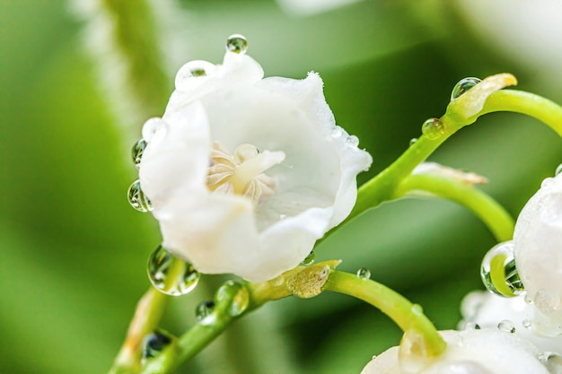 Flores hermosas olor lirio de los valles o lirio de mayo con gotas después de la lluvia