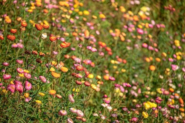 Flores hermosas de la paja, campo de flores eterno en el parque de phu hin rongkra, phitsanulok, tailandia.