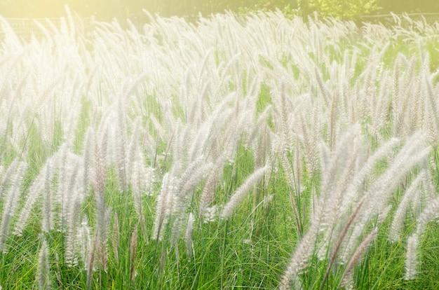 Flores de hierba con luz de la mañana.