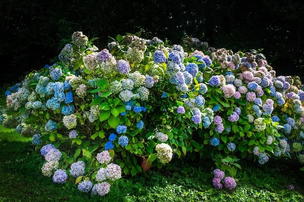 Flores de hortensia en el jardin
