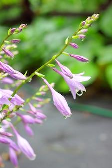 Flores de hosta
