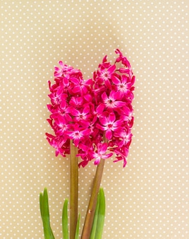 Flores de jacinto rosa