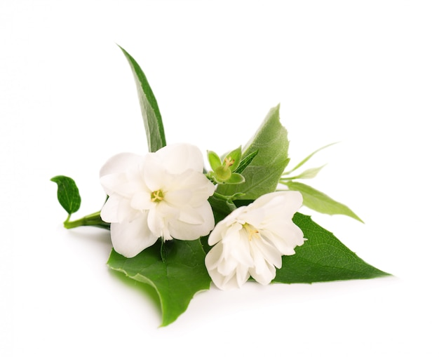 Flores de jazmín aisladas sobre fondo blanco