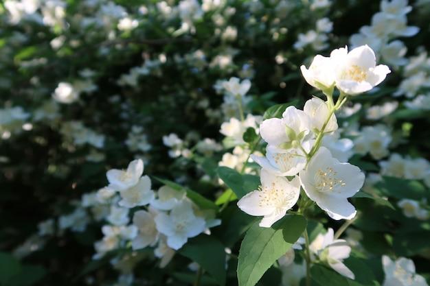 Flores de jazmín en un jardín.