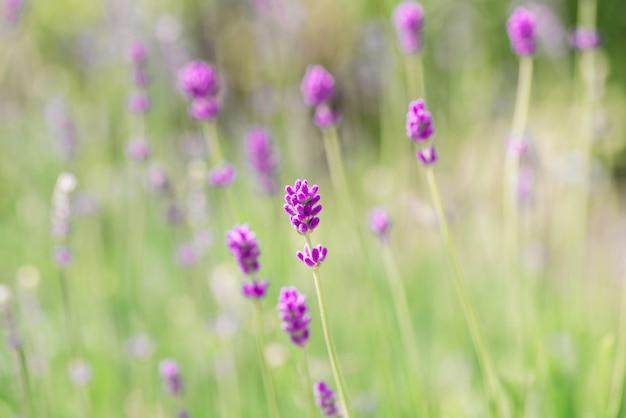 Flores de lavanda en flor. el campo púrpura florece el fondo. flores tiernas de lavanda.