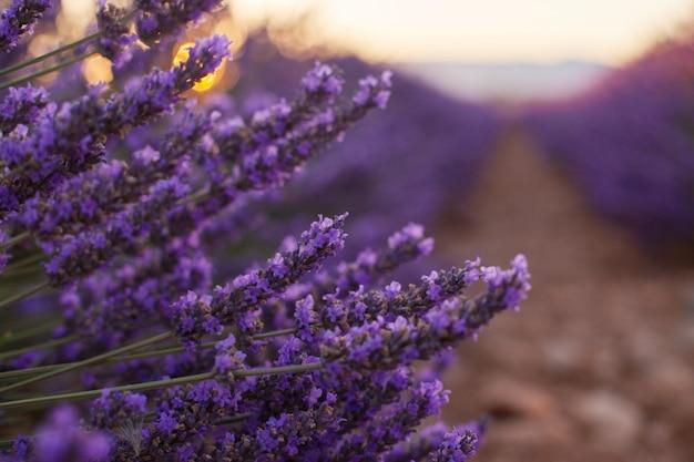Flores de lavanda fragantes en el hermoso amanecer, valensole, provenza, francia, de cerca