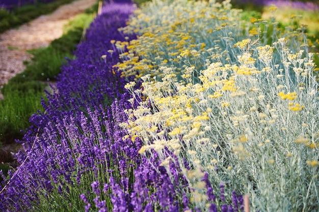 Flores de lavanda que crecen en el parque de bruselas.