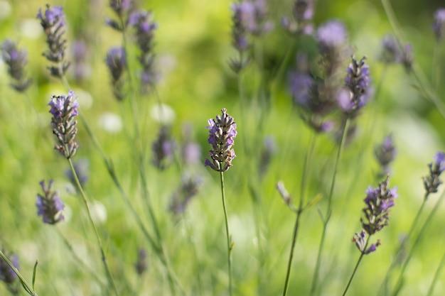 Flores de lavanda suavemente púrpura sobre un fondo de color verde claro fondo borroso con un arbusto