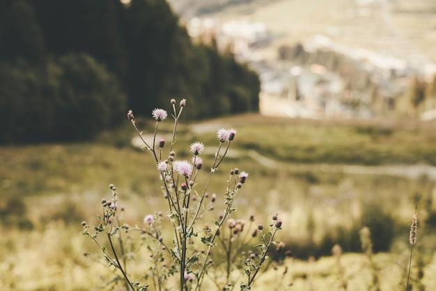 Flores lilas en las montañas en verano. foto horizontal. foto de alta calidad