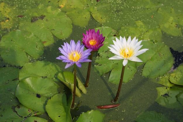 Flores de lirio de agua que florece en el estanque