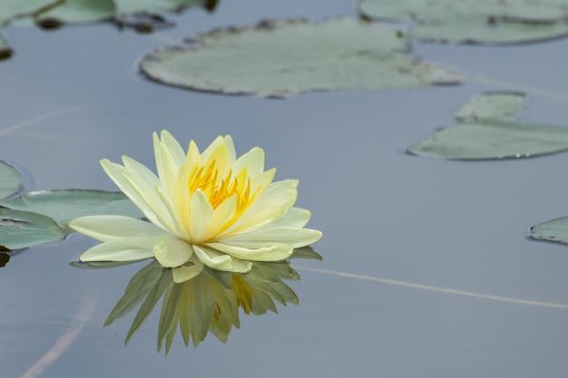 Flores de loto amarillo o flores de lirio de agua que florecen en el estanque