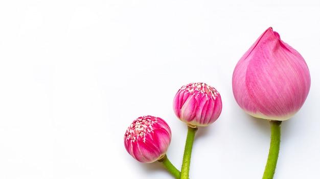 Flores de loto en blanco. copia espacio