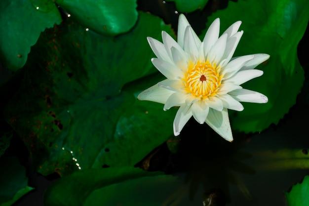 Flores de loto blanco y estambres amarillos. en el estanque con hojas de loto alrededor.
