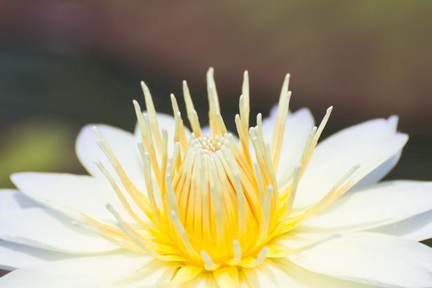 Flores de loto blanco o flores de lirio de agua que florecen en el estanque