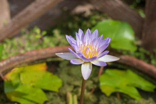 Flores de loto moradas en la bañera.