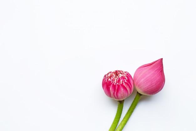 Flores de loto rosa sobre blanco