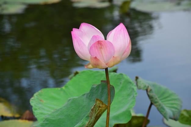 Flores de loto rosadas que no han florecido en un estanque en tailandia