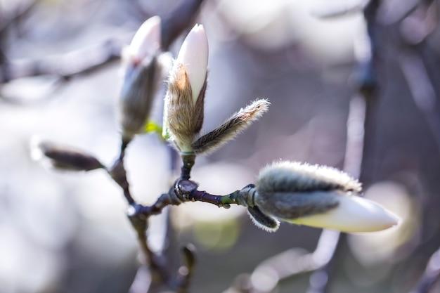 Flores de magnolia en primavera (macro)