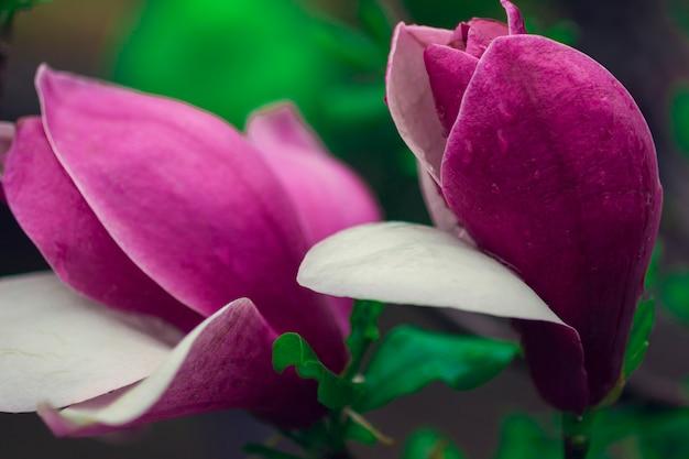 Flores de magnolia en las ramas de los árboles
