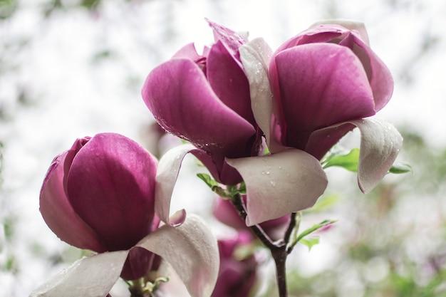 Flores de magnolia rosa en las ramas de los árboles