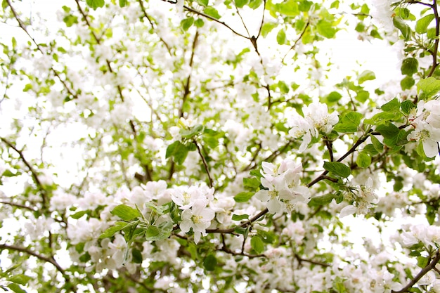 Flores manzana primavera jardin
