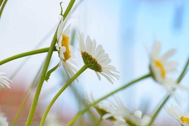 Flores de manzanilla de colores brillantes