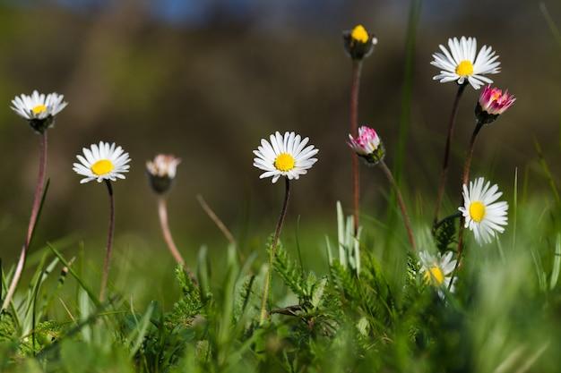 Flores de manzanilla en un primer plano de campo, efecto bokeh