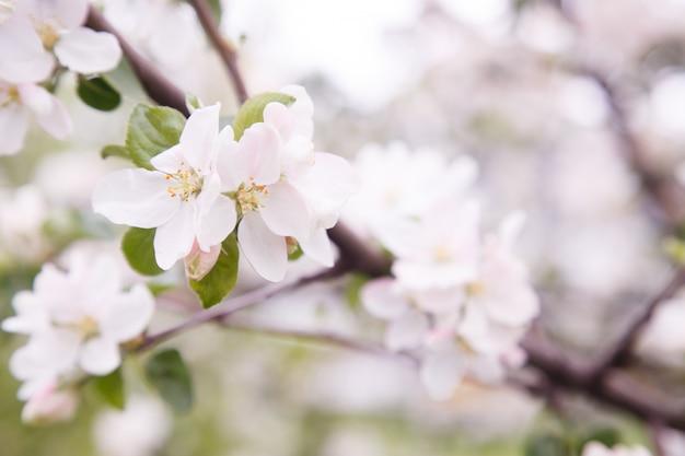 Flores de manzano. la parte de una planta con semilla que consiste en órganos reproductivos.