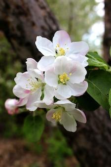 Flores de manzanos en la primavera en el jardín.