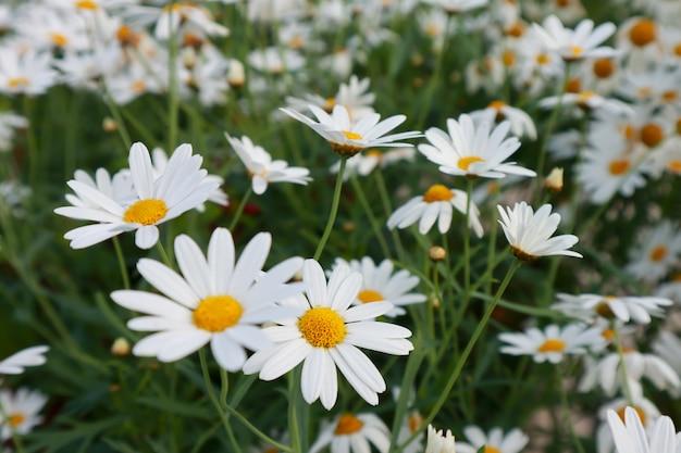 Flores de margarita blanca suave en el jardín