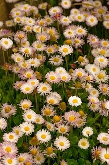 Flores de margarita en la hierba