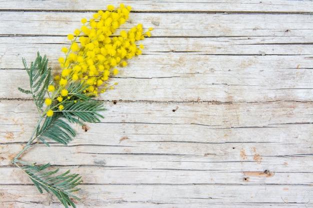 Flores de mimosa sobre fondo de madera. 8 de marzo, símbolo del día de la mujer y primavera.