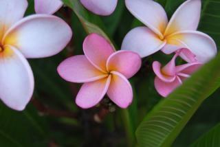 Flores de namibia, de color rosa