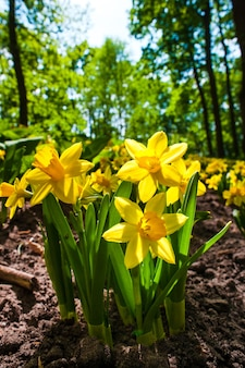 Flores narcisos en el jardín de flores de keukenhof, lisse, holanda, holanda