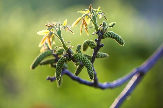 Flores de nogal. flores de nogal en la rama de un árbol