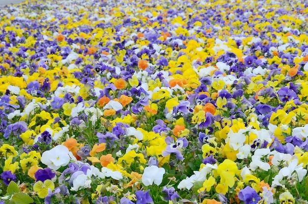 Las flores o los pensamientos multicolores del pensamiento se cierran para arriba como fondo o tarjeta