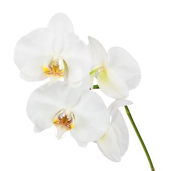 Flores orquídeas aisladas sobre fondo blanco.